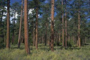 FSC Certified Ponderosa Pine from Collinswood